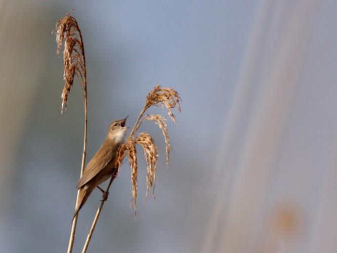 Locustella luscinioides © PERSYN Jacques