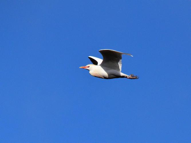 Bubulcus ibis © Vathelet cyril
