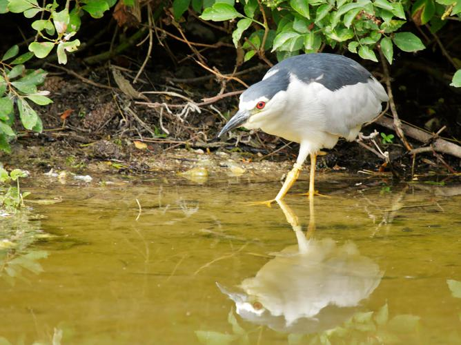 Nycticorax nycticorax © PERSYN Jacques