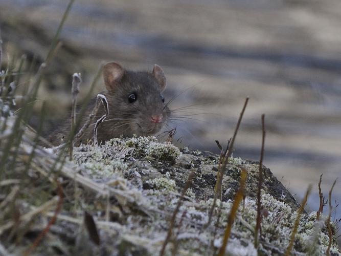 Rattus norvegicus © HERCENT Jean-Luc