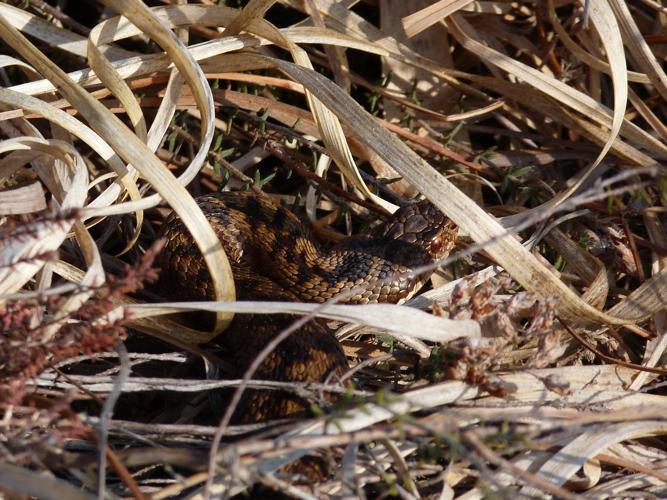 Vipera berus berus © HALLART Guénael