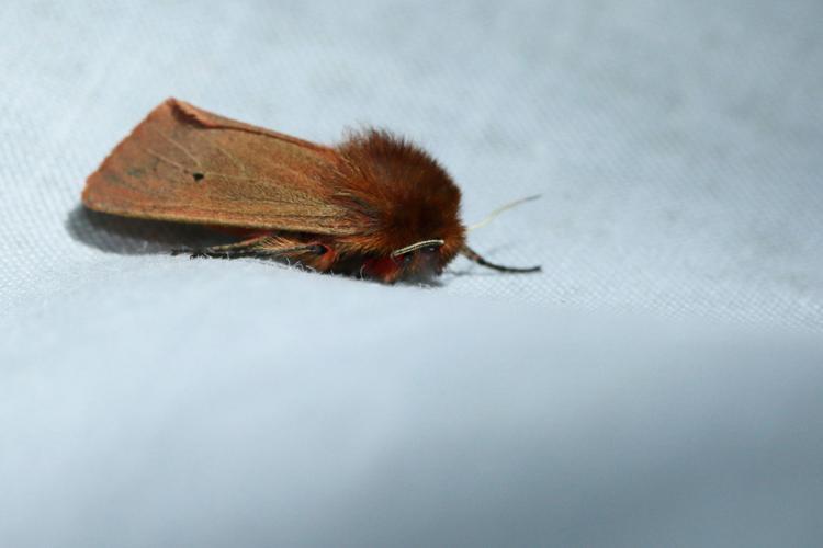 Phragmatobia fuliginosa © GAIGNON Lison