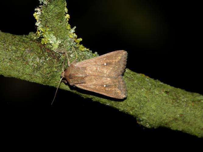 Mythimna albipuncta © BARBIER Simon