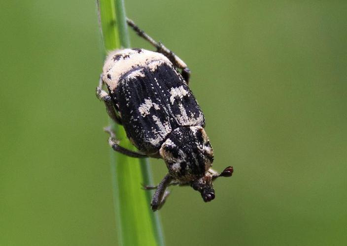Valgus hemipterus mâle © Laurent Colindre